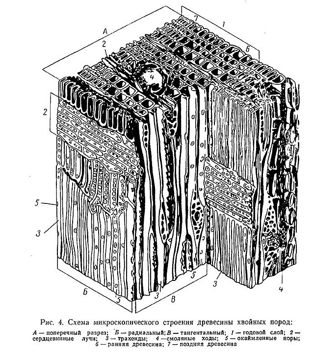 некоторых армиях схема микроскопического строения древесины дуба представляет
